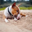 Bull terrier lies on sand. — Foto de Stock
