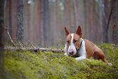 The red English bull terrier in the wood — Stock Photo