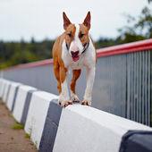 English bull terrier. — Stock Photo
