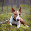 English bull terrier in wood — Stock Photo #31878653