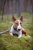 The English bull terrier in the wood — Stock Photo