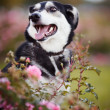Portrait of a dog in pink bushes. — Stock Photo