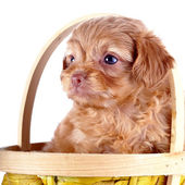 Portrait of a puppy of a decorative doggie in a yellow basket. — Stock Photo