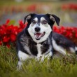 Stock Photo: Dog lies on grass against red flowers.