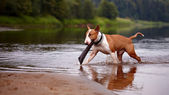 The English bull terrier plays with a stick in the river — Foto Stock