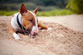 The sad red English bull terrier lies on sand. — Stock Photo