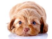 Filhote de cachorro de um cãozinho decorativo em um fundo branco. — Foto Stock