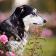 Portrait of the offended black-and-white dog in pink roses. — Stock Photo