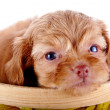 Portrait of a red puppy of a decorative doggie in a yellow basket. — Stock Photo