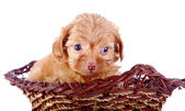 Portrait of a red puppy of a decorative doggie in a wattled basket. — Stock Photo