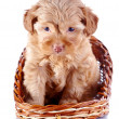 Постер, плакат: Small puppy of a decorative doggie in a wattled basket