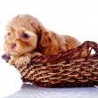 Постер, плакат: Small puppy in a wattled basket