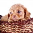 Portrait of a small puppy of a decorative doggie in a wattled basket. — Stock Photo