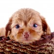 Постер, плакат: Small pretty puppy of a decorative doggie in a wattled basket