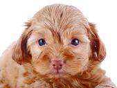 红色小狗的肖像 — 图库照片