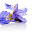 Stock Photo: Flower of a blue iris.