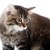 Portrait of a striped fluffy cat — Foto Stock