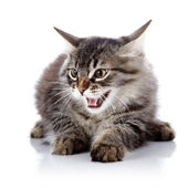 Angry hissing cat. — Stock Photo