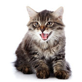 Striped fluffy mewing kitten on a white background — Stock Photo