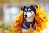 Portrait of a dog in yellow autumn leaves. — Stock Photo