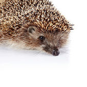 Portrait of a hedgehog on a white background — Stock Photo