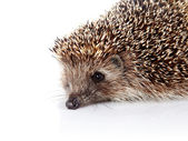 Portrait of a hedgehog — Stock Photo