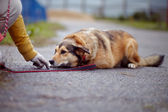 The red not purebred dog lies on the road — Stock Photo