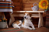 The dog lies under a bench in the rural house. — Stock Photo