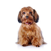 The red puppy of a decorative doggie. — Stockfoto