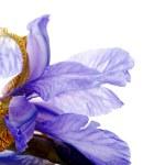 Petals of a flower of an blue iris. — Stock Photo #36475213
