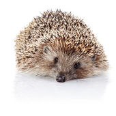 Prickly hedgehog on a white background — Stock Photo
