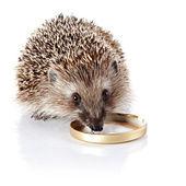 The hedgehog eats sour cream. — Stock Photo