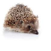 Prickly hedgehog — Stock Photo