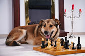Dog and chess against a fireplace. — Stock Photo