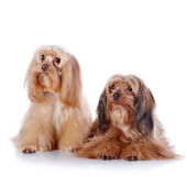 Two puppies of a decorative doggie. — Stock Photo