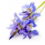 Flowers of a blue iris. — Stock Photo