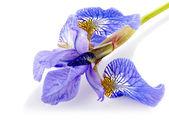 Květ modrý Iris. — Stock fotografie