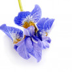 Flower of a blue iris. — Stock Photo #36923121