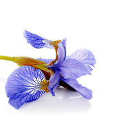 Blue iris. — Stock Photo