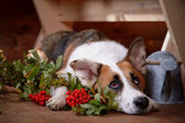 Sad dog with a mountain ash in the rural house. — Stock Photo