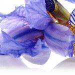 Petals of a flower of an blue iris. — Stock Photo #37255967