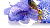 Petals of a flower of an blue iris. — Stock Photo
