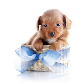 Puppy in a wattled basket with a blue bow. — Stock Photo