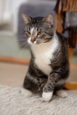 Gray yellow-eyed cat. — Stock Photo