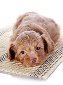 Puppy on a rug — Stock Photo