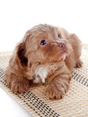 Puppy on a rug — Foto de Stock