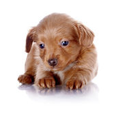 Puppy of a decorative doggie — Stock Photo