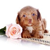 щенок с розой на ковре. — Стоковое фото