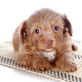 Puppy on a rug — Foto Stock