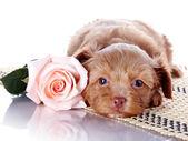 Cucciolo con una rosa su un tappeto. — Foto Stock
